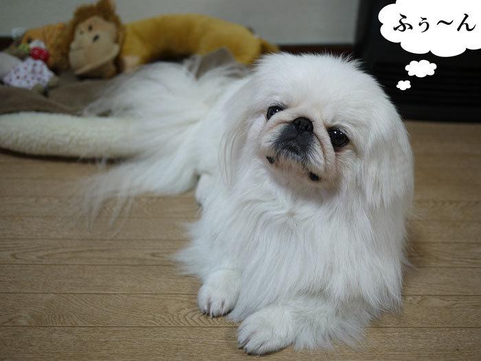 $ペキニーズ Blog-白ペキニーズ シロ君のフォトブログ-2011.4.16.シロお見送り