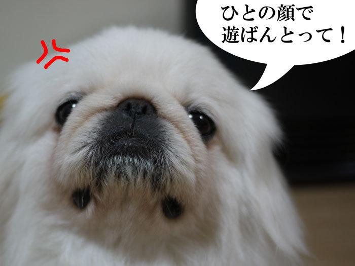 ペキニーズ Blog-白ペキニーズ シロ君のフォトブログ-2011.4.15.シロ眉毛