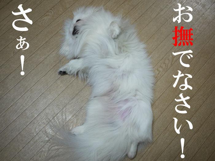 ペキニーズ Blog-白ペキニーズ シロ♂と白黒ペキニーズ クロ♀のフォトブログ-2011.4.17.シロ