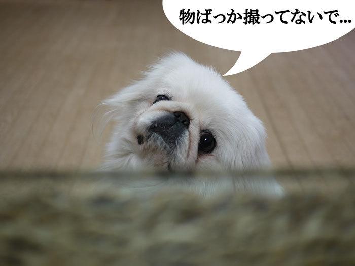 ペキニーズ Blog-白ペキニーズ シロのフォトブログ-2011.4.19.シロ