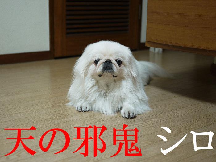 $ペキニーズ Blog-白ペキニーズ シロのフォトブログ-2011.4.19.シロ