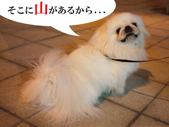 ペキニーズ Blog-白ペキニーズ シロのフォトブログ-2011.4.18.シロ山