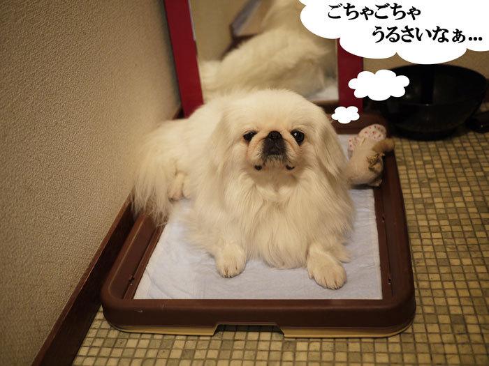 ペキニーズ Blog-白ペキニーズ シロのフォトブログ-2011.4.20.シロベット