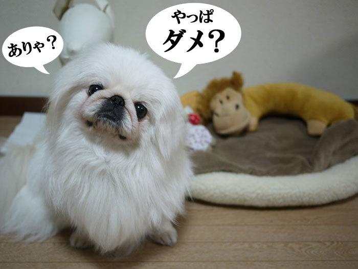 $ペキニーズ Blog-白ペキニーズ シロのフォトブログ-2011.4.20.シロベット