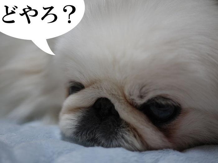 ペキニーズ Blog-白ペキニーズ シロのフォトブログ-2011.4.24.シロ布団