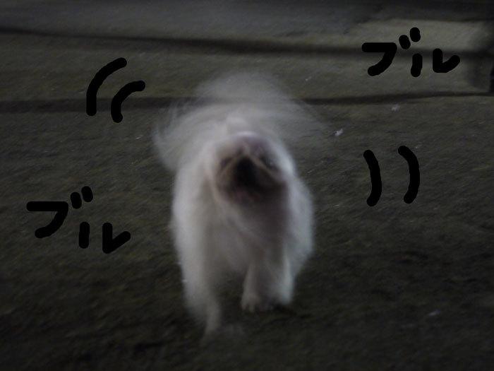 ペキニーズ Blog-白ペキニーズ シロのフォトブログ-2011.4.22.妖怪シロ