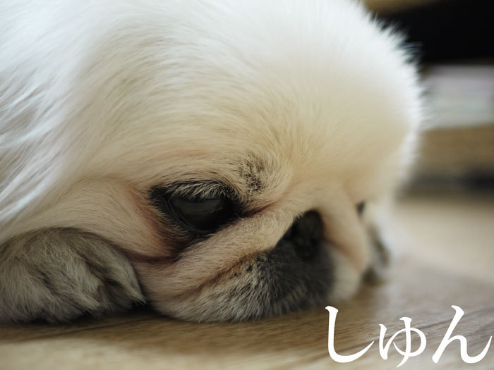 ペキニーズ Blog-白ペキニーズ シロのフォトブログ-2011.4.21.シロ反省