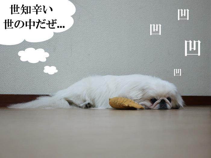 ペキニーズ Blog-白ペキニーズ シロのフォトブログ-2011.4.21.シロ鯛