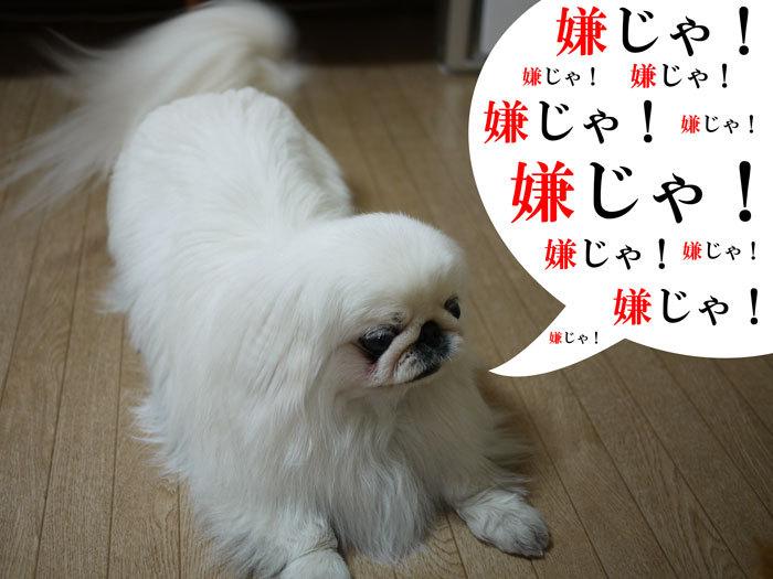 ペキニーズ Blog-白ペキニーズ シロのフォトブログ-2011.4.23.シロ雨