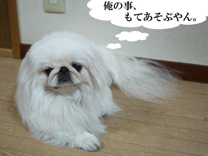 $ペキニーズ Blog-白ペキニーズ シロのフォトブログ-2011.4.23.シロ雨
