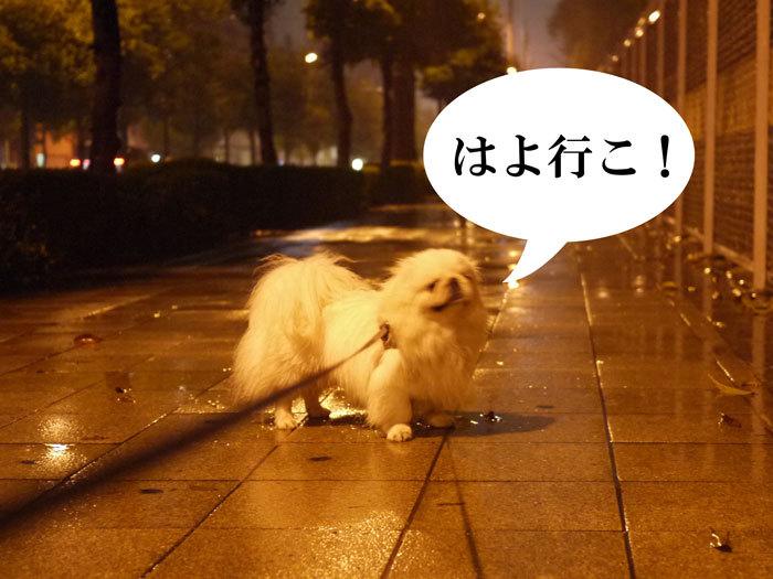 ペキニーズ Blog-白ペキニーズ シロのフォトブログ-2011.4.25.シロ散歩