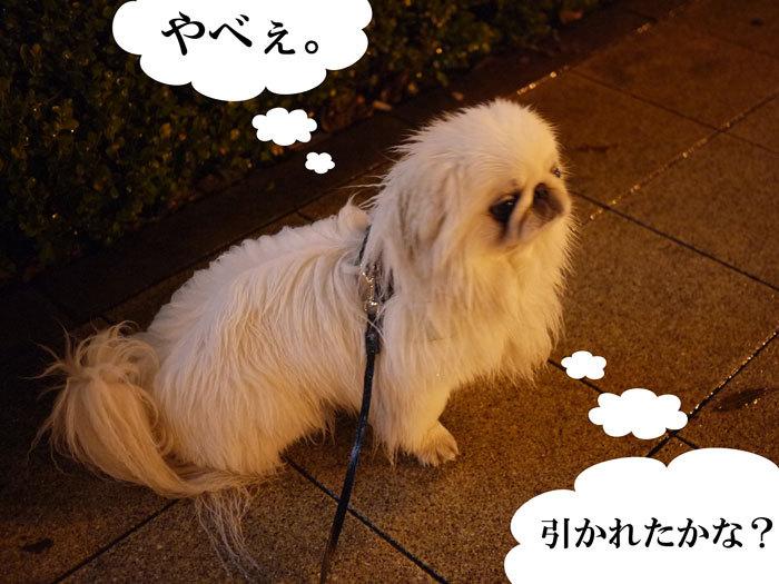 $ペキニーズ Blog-白ペキニーズ シロのフォトブログ-2011.4.25.シロ散歩