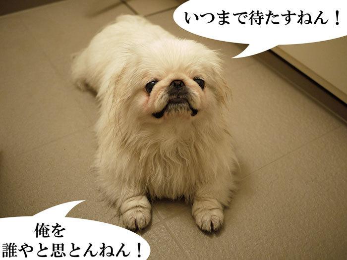 ペキニーズ Blog-白ペキニーズ シロのフォトブログ-2011.4.26.シロお風呂