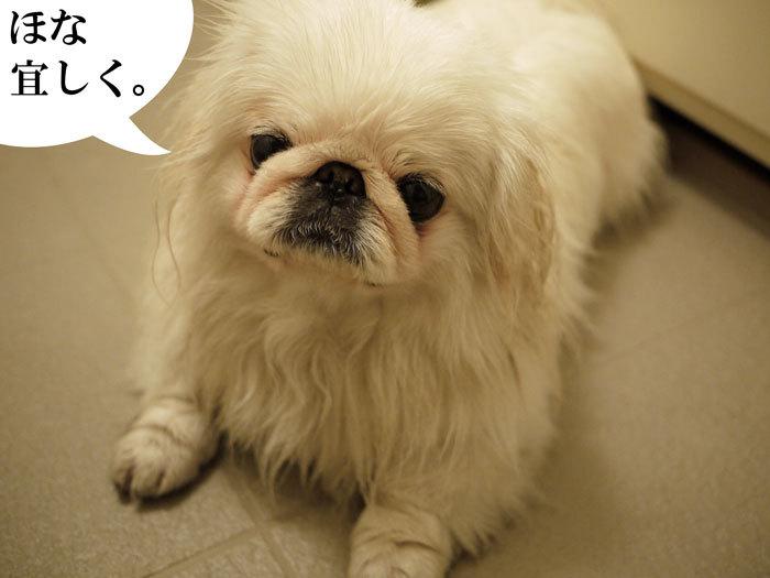 $ペキニーズ Blog-白ペキニーズ シロのフォトブログ-2011.4.26.シロお風呂