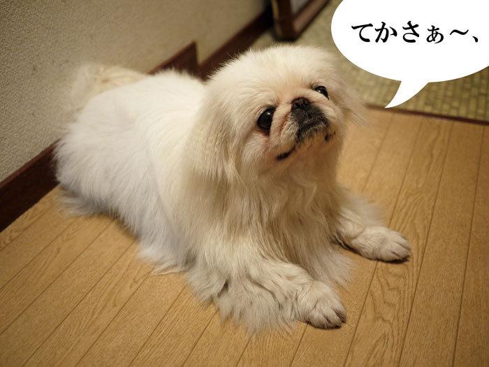 ペキニーズ Blog-白ペキニーズ シロのフォトブログ-2011.4.7.湯上りシロ