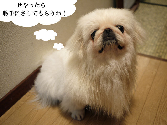 $ペキニーズ Blog-白ペキニーズ シロのフォトブログ-2011.4.7.湯上りシロ