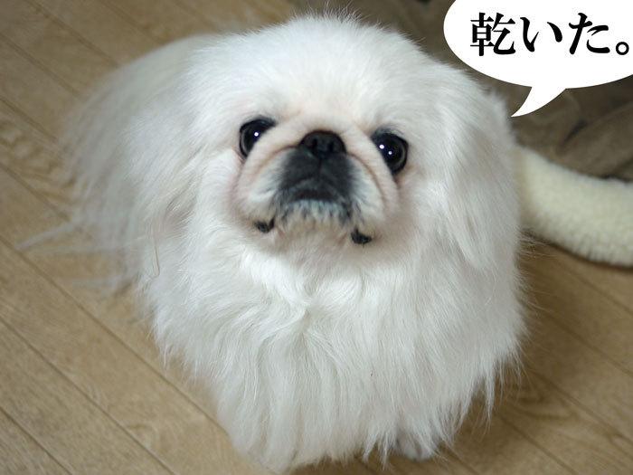 ペキニーズ Blog-白ペキニーズ シロのフォトブログ-2011.4.27.湯上りシロ