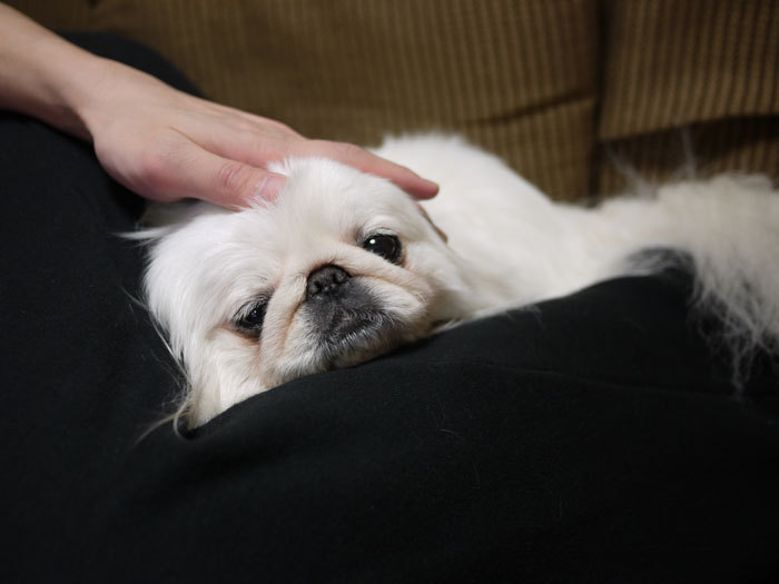 ペキニーズ Blog-白ペキニーズ シロのフォトブログ-2011.4.28.シロ親子