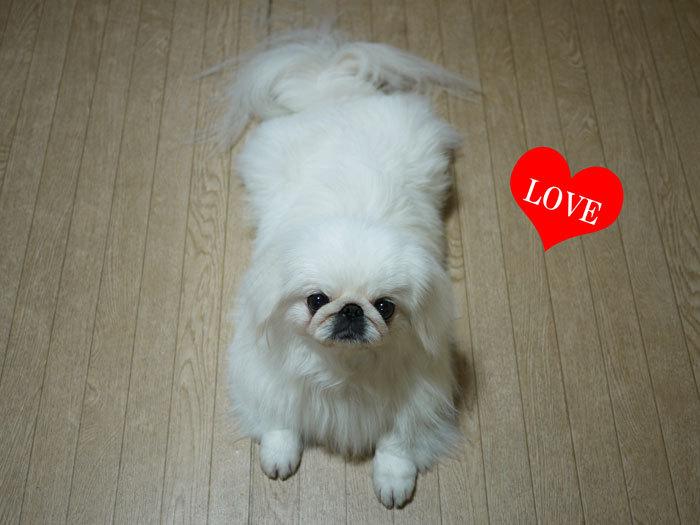 ペキニーズ Blog-白ペキニーズ シロのフォトブログ-2011.4.29.SHIRO