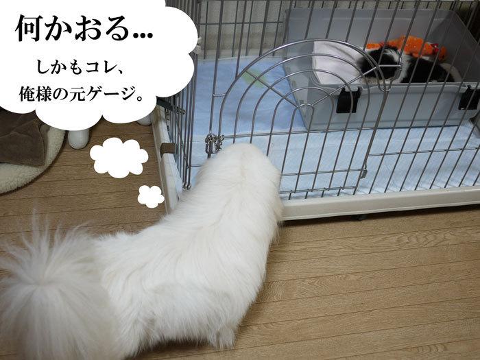 ペキニーズ Blog-白ペキニーズ シロ♂ & 白黒ペキニーズ クロ♀のフォトブログ-2011.5.2.シロクロ初夜