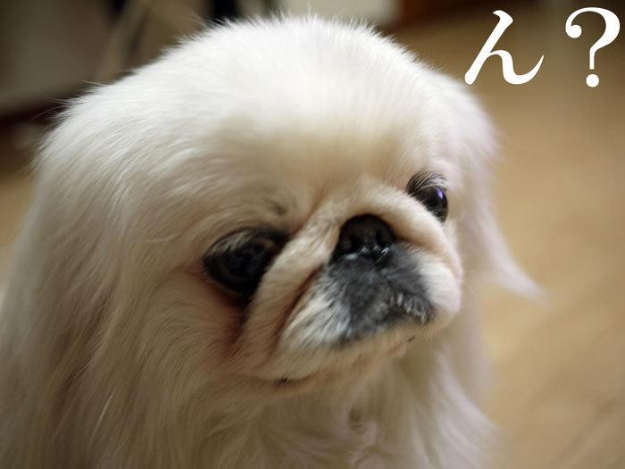 $ペキニーズ Blog-白ペキニーズ シロ♂ & 白黒ペキニーズ クロ♀のフォトブログ-2011.5.2.シロ