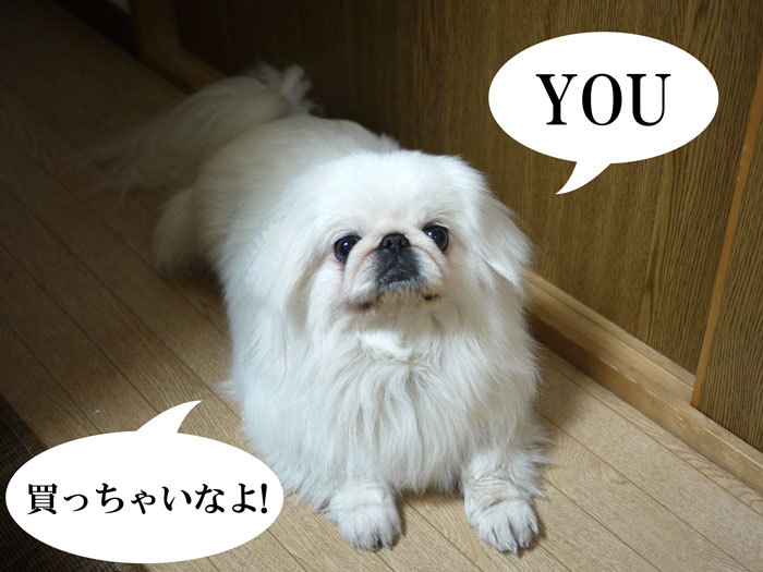 $ペキニーズ Blog-白ペキニーズ シロ♂ & 白黒ペキニーズ クロ♀のフォトブログ-2011.5.3.シロ