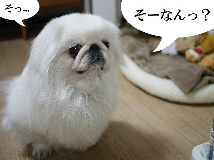 ペキニーズ Blog-白ペキニーズ シロ♂ & 白黒ペキニーズ クロ♀のフォトブログ-2011.5.5.シロクロ翌日