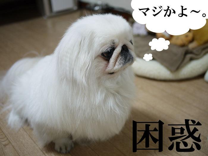 $ペキニーズ Blog-白ペキニーズ シロ♂ & 白黒ペキニーズ クロ♀のフォトブログ-2011.5.5.シロクロ翌日