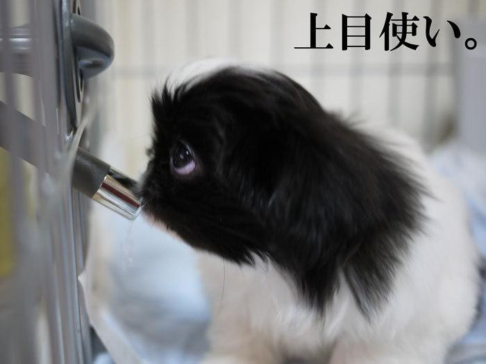 ペキニーズ Blog-白ペキニーズ シロ♂ & 白黒ペキニーズ クロ♀のフォトブログ-2011.5.5.クロ