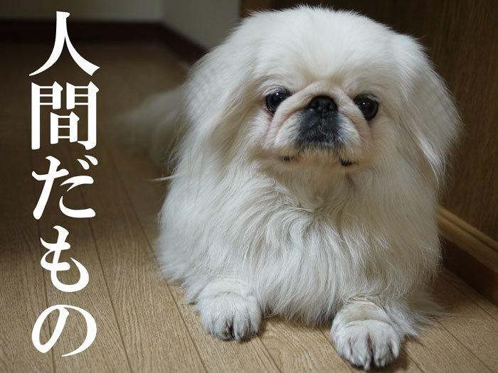 ペキニーズ Blog-白ペキニーズ シロ♂ & 白黒ペキニーズ クロ♀のフォトブログ-2011.5.7.シロ