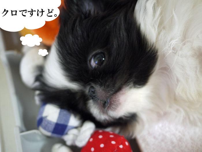 $ペキニーズ Blog-白ペキニーズ シロ♂ & 白黒ペキニーズ クロ♀のフォトブログ-2011.5.7.クロ