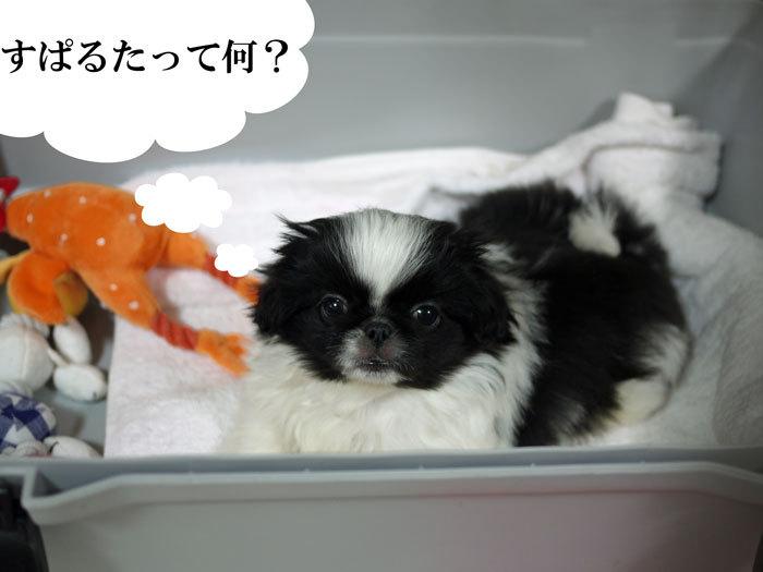ペキニーズ Blog-白ペキニーズ シロ♂ & 白黒ペキニーズ クロ♀のフォトブログ-2011.5.7.クロ