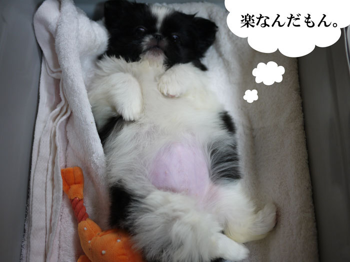 ペキニーズ Blog-白ペキニーズ シロ♂ & 白黒ペキニーズ クロ♀のフォトブログ-2011.5.6.クロ