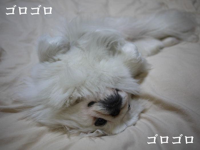 ペキニーズ Blog-白ペキニーズ シロ♂ & 白黒ペキニーズ クロ♀のフォトブログ-2011.5.6.シロ