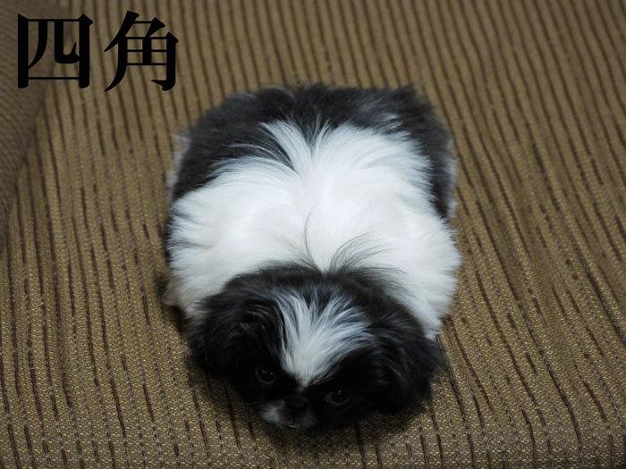 ペキニーズ Blog-白ペキニーズ シロ♂ & 白黒ペキニーズ クロ♀のフォトブログ-2011.5.9.クロ