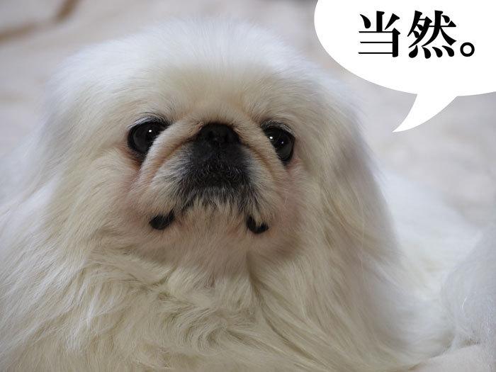 ペキニーズ Blog-白ペキニーズ シロ♂ & 白黒ペキニーズ クロ♀のフォトブログ-2011.5.9.シロ