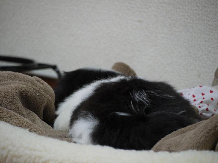 ペキニーズ Blog-白ペキニーズ シロ♂ & 白黒ペキニーズ クロ♀のフォトブログ-2011.5.10.クロ