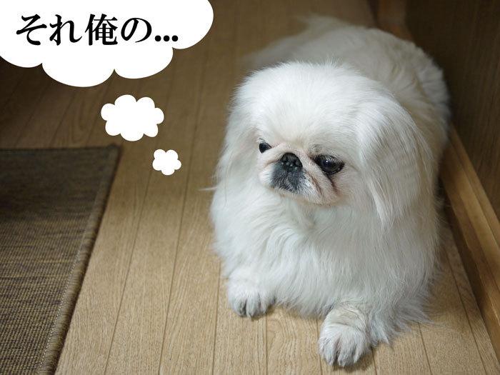 ペキニーズ Blog-白ペキニーズ シロ♂ & 白黒ペキニーズ クロ♀のフォトブログ-2011.5.10.シロ