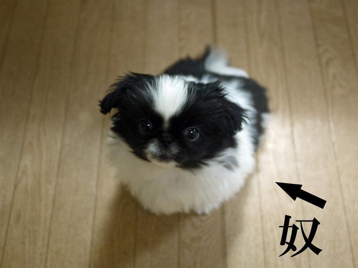 ペキニーズ Blog-白ペキニーズ シロ♂ & 白黒ペキニーズ クロ♀のフォトブログ-2011.5.12.クロ