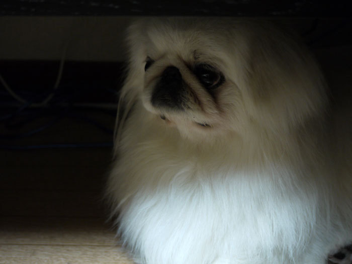 ペキニーズ Blog-白ペキニーズ シロ♂ & 白黒ペキニーズ クロ♀のフォトブログ-2011.5.12.シロ