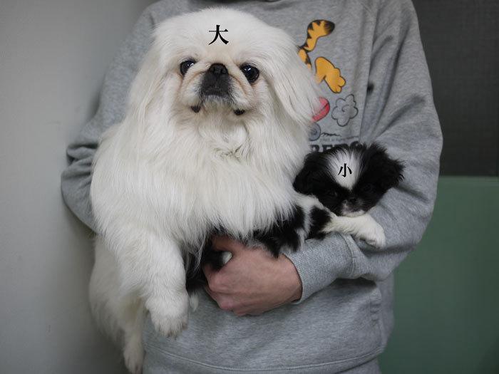 ペキニーズ Blog-白ペキニーズ シロ♂ & 白黒ペキニーズ クロ♀のフォトブログ-2011.5.13.シロクロ
