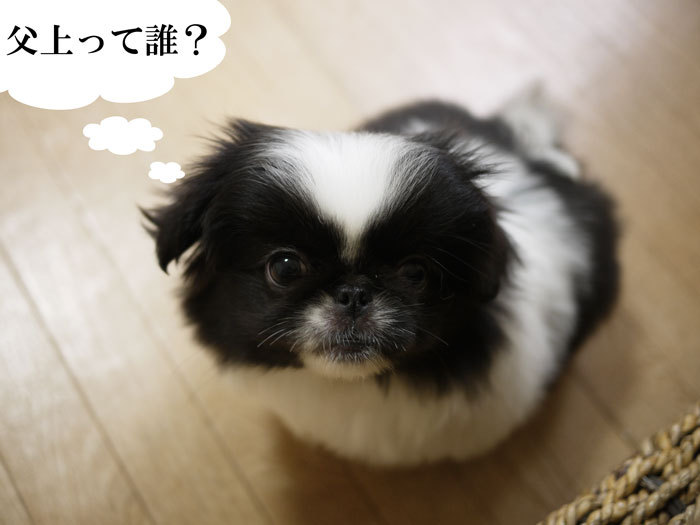 ペキニーズ Blog-白ペキニーズ シロ♂ & 白黒ペキニーズ クロ♀のフォトブログ-2011.5.13.クロ