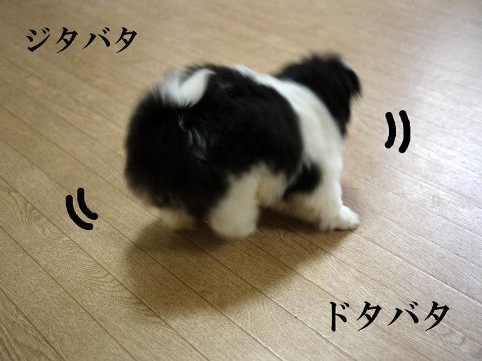 ペキニーズ Blog-白ペキニーズ シロ♂ & 白黒ペキニーズ クロ♀のフォトブログ-2011.5.16.クロ