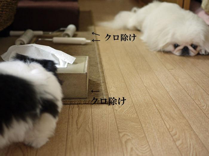 ペキニーズ Blog-白ペキニーズ シロ♂ & 白黒ペキニーズ クロ♀のフォトブログ-2011.5.16.シロクロ