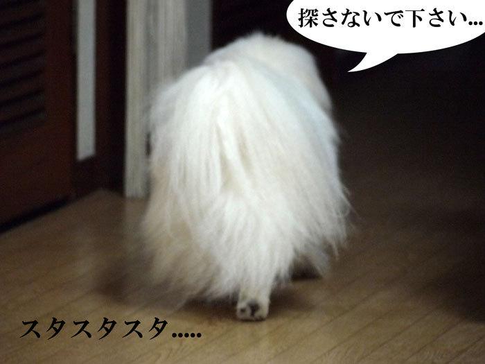 ペキニーズ Blog-白ペキニーズ シロ♂ & 白黒ペキニーズ クロ♀のフォトブログ-2011.5.16.シロ