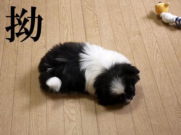 ペキニーズ Blog-白ペキニーズ シロ♂ & 白黒ペキニーズ クロ♀のフォトブログ-2011.5.17.クロ