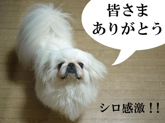 ペキニーズ Blog-白ペキニーズ シロ♂ & 白黒ペキニーズ クロ♀のフォトブログ-2011.5.17.シロ