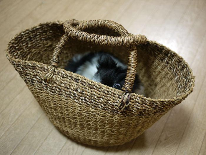 ペキニーズ Blog-白ペキニーズ シロ♂ & 白黒ペキニーズ クロ♀のフォトブログ-2011.5.18.クロ