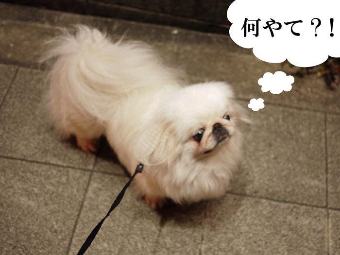 ペキニーズ Blog-白ペキニーズ シロ♂ & 白黒ペキニーズ クロ♀のフォトブログ-2011.5.18.シロ
