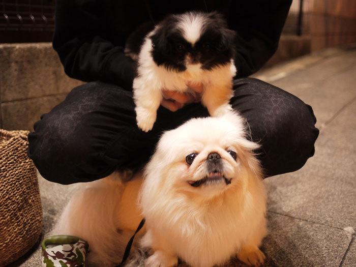 ペキニーズ Blog-白ペキニーズ シロ♂ & 白黒ペキニーズ クロ♀のフォトブログ-2011.5.18.シロクロ